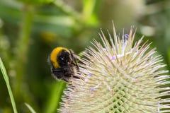 Mamrocze pszczoły na Teasel kwiacie (Bombus terrestris) (Dipsacus folujący Zdjęcie Stock