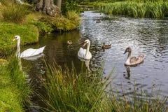 Mamusi, ojczulka i dziecka łabędź na Rzecznym Lin w Bradgate parku, Leicestershire, UK obrazy royalty free