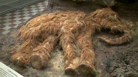 Mamusia mamut zbiory wideo