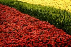 mamusie ogrodniczego czerwono żółty Zdjęcie Royalty Free