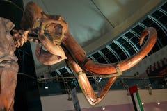 Mamutowa Wooly prawdziwa kość zostaje zdjęcie royalty free