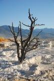 mamutowy drzewo Obraz Royalty Free