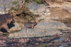 Mamy and Baby Hippo going for a walk Stock Photography