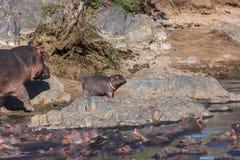 Mamy en Baby Hippo die voor een gang gaan Stock Fotografie