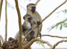 Mamy i dziecka małp karmić Obrazy Stock