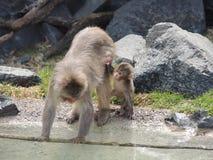 Mamy i dziecka małpa zdjęcie royalty free