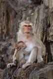 Mamy i dziecka małpy, karma Obraz Stock