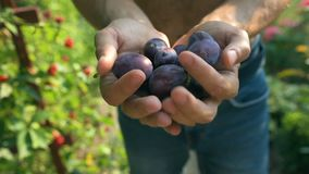 Man's hands filed with ecological mature Hungarian plum stock footage