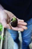 ManÂs hand och organisk tobakväxt Royaltyfria Bilder