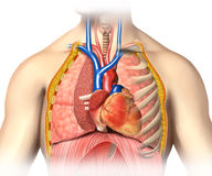 Man anatomy thorax cutaway with heart with main blood veins Stock Image