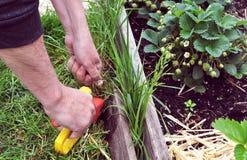 Man arbete i bitande gras för en trädgård med en handtool arkivfoto