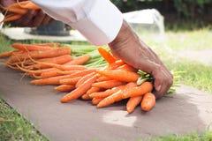 Man arrange baby carrot Stock Photography