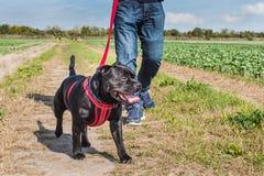 Man att gå en hund på en sele i ett fält royaltyfri bild