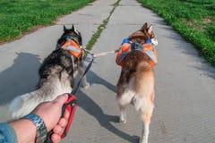 Man att gå två skrovliga hundkapplöpning parkerar in, den bakre sikten Siberian skrovligt med orange ryggsäckar som kör på sommar fotografering för bildbyråer
