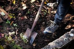 Man att gräva upp grönsaker på en trädgård, hans ben och en spade i fokus Arkivbilder