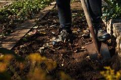 Man att gräva upp grönsaker på en trädgård, hans ben och en spade i fokus Arkivbild