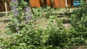 Man att meja fullvuxet gräs för löst gräs med en gräsklippare stock video