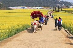 Man att rida en waterbuffalo för turisterna bland rapsfröblommafälten av Luoping i Yunnan Kina Arkivbilder