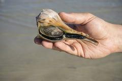 Man att rymma en Live Lighting Whelk vid havet #1 royaltyfria foton