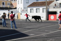 A man attempts to outrun a bull. A loose bull chases a man in a village center of Terceira, Portugal during the Sanjoaninas. This is the largest yearly festival Stock Image