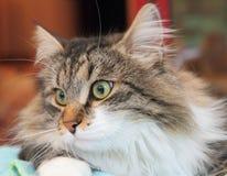 Man av den siberian katten Arkivfoto