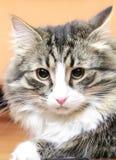 Man av den siberian katten Royaltyfria Bilder