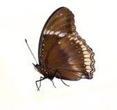Man av den stora eggfly fjärilen Arkivfoto