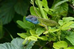 Man av europeiska Lacertaviridis för grön ödla med det blåa huvudet arkivfoton