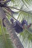 Man with bare feet climbing coconut palm tree Royalty Free Stock Images