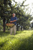 Man with basket of apples in orchard, smiling, portrait, low angle view Stock Images