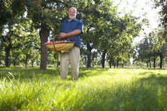 Man with basket of apples in orchard, smiling, portrait, low angle view Royalty Free Stock Image