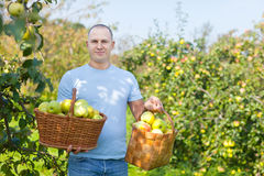 Man with basket of harvested apples Stock Photography