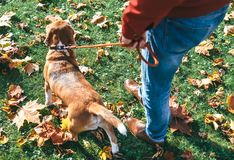 Man with beagle dog on walk in autumn park Royalty Free Stock Photos