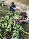 Man with beard and bananas. A hippy looking man harvesting bananas in Thailand Stock Photos
