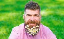 Man with beard on happy face enjoy life in ecologic environment. Hipster with daisies looks happy. Bearded man with. Daisy flowers in beard, grass background royalty free stock image