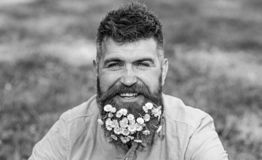 Man with beard on happy face enjoy life in ecologic environment. Hipster with daisies looks happy. Bearded man with. Daisy flowers in beard, grass background stock photos