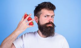 Man beard hipster strawberries between fingers blue background. Carbohydrate content strawberry. Strawberries safest. Fruit for sugar levels. Mostly royalty free stock photo