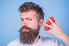 Man beard hipster strawberries fingers blue background. Mostly carbohydrates sucrose fructose glucose. Carbohydrate. Content strawberry. Strawberries safest royalty free stock images