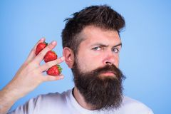 Man beard hipster strawberries fingers blue background. Mostly carbohydrates sucrose fructose glucose. Carbohydrate. Content strawberry. Strawberries safest royalty free stock photos
