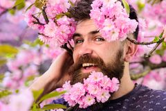 Man with beard and mustache on happy face near tender pink flowers, close up. Bearded male face peeking out of bloom of. Sakura. Hipster with sakura blossom in Royalty Free Stock Photo