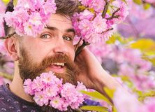 Man with beard and mustache on happy face near tender pink flowers, close up. Hipster with sakura blossom in beard. Barber service concept. Bearded male face stock image