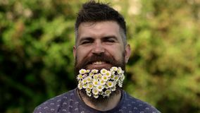 Man with beard on smiling face enjoy life without allergy. Bearded man with daisy flowers in beard, grass background. Defocused. Spring and summer allergy stock video