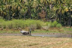 Man and beasts plowing a rice field in Tamil Nadu. Dindigul, India - March 8, 2018: An unidentified agricultural worker uses cattle in traditional fashion to Stock Photos