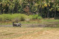 Man and beasts working in a rice field in Tamil Nadu. Dindigul, India - March 8, 2018: An unidentified agricultural worker uses cattle in traditional fashion to Royalty Free Stock Photography