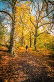 A man in beautiful autumn park with line of trees and and a road in the park,. Beautiful autumn scenery with line of trees and and a road in the park, Scotland royalty free stock photos
