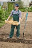 Man began to plant potatoes Stock Photos