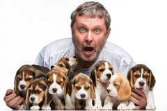 The man and big group of a beagle puppies Royalty Free Stock Images