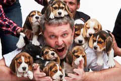 The man and big group of a beagle puppies Stock Image