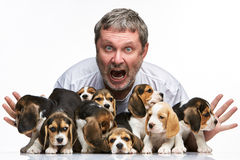 The man and big group of a beagle puppies Stock Photography
