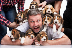 The man and big group of a beagle puppies Royalty Free Stock Photography